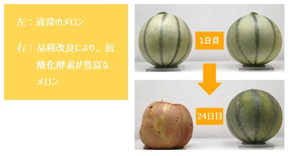 左:通常のメロン 右:品種改良により、抗酸化酵素が豊富なメロン